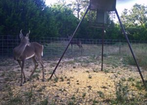 Corn - Deer Feeder