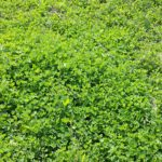 Food Plots - Clover